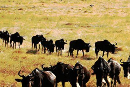 Wildebeest Weekly