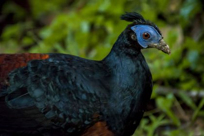 Bornean Crested Fireback (Lophura ignita)
