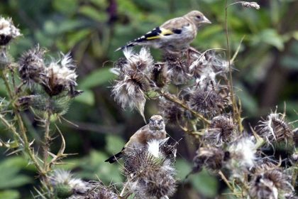 Goldfinch (Carduelis carduelis) british birds