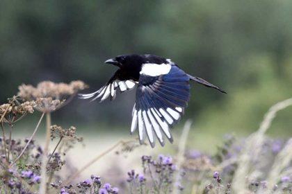 British bird Magpie (Pica pica)