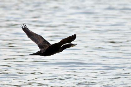 British bird Cormorant (Phalacrocorax carbo)