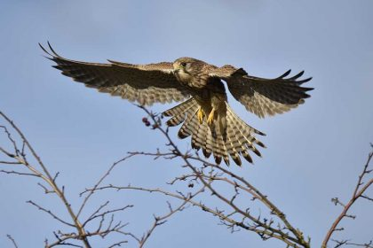 Kestrel (Falco tinnunculus) British birds