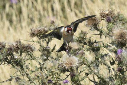 British birds Goldfinch (Carduelis carduelis)