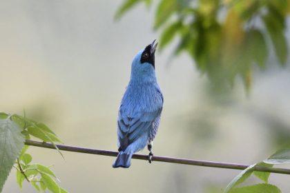 Swallow tanager (Tersina viridis)