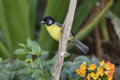 Santa Marta brush finch (Atlapetes melanocephalus)