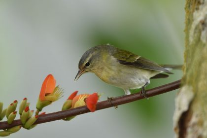 Tennessee warbler (Oreothlypis peregrina)