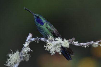Green violetear (Colibri thalassinus)