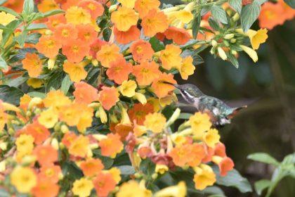 Santa Marta woodstar (Chaetocercus astreans)