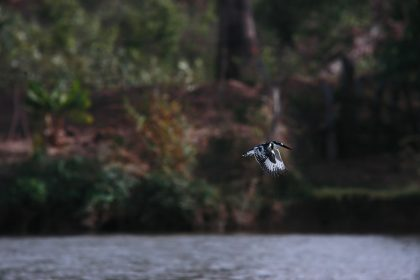 ied Kingfisher (Ceryle rudis)