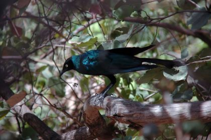 Long-tailed Glossy Starling (Lamprotornis caudatus)