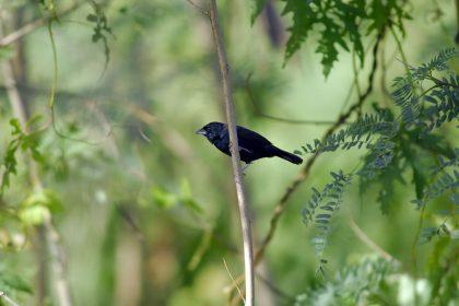 Blue Black Grassquit (Volatinia jacarina)