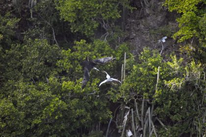 Magnificent Frigatebird (Fregata magnificens) and Red-billed Tropicbird (Phaethon aethereus)