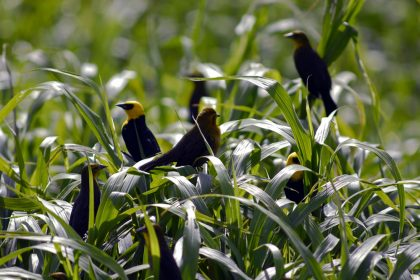 Yellow-hooded Blackbird (Chrysomus icterocephalus)