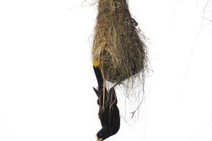 Crested Oropendola (Psarocolius decumanus)